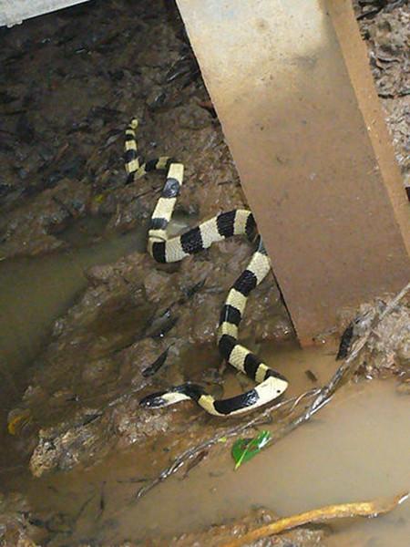 常说金环蛇和银环蛇,但是哪个毒性最大你们知