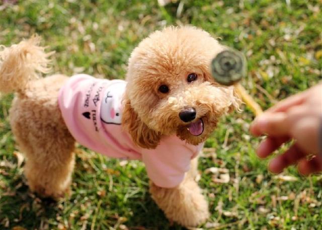 泰迪走路训练教程