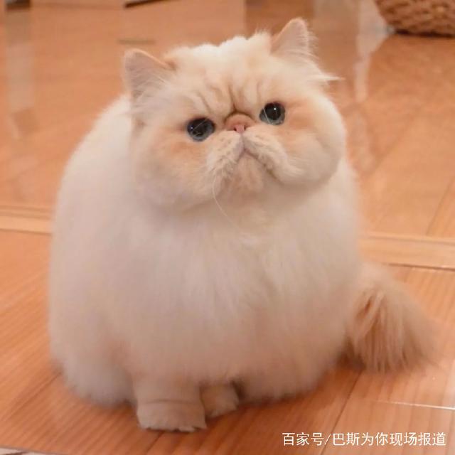 日本这只满脸写着不开心的小胖猫,却让网友大