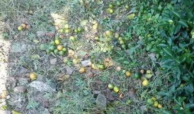 柑橘日灼病怎么防治?预防柑橘日灼落果的有效方法