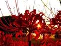 彼岸花的花语和传说是什么