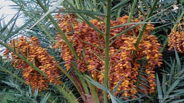 椰枣甜的能齁死人而且热量又很多,女人不爱吃