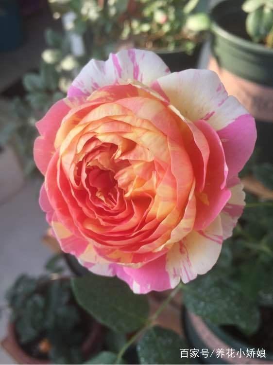 可以多季节重复开花的灌木月季,推荐给大家 第5张