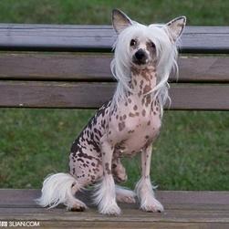 动物知识科普,小编带你了解粉扑犬