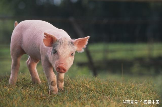"""十二生肖猪年到!关于""""猪""""的这些文化你知道吗? 第3张"""