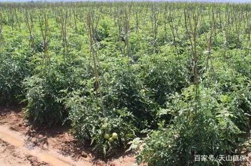 西紅柿露地栽培技術