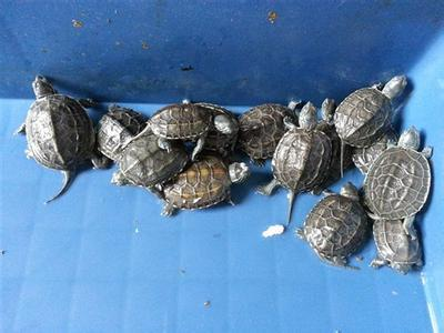 自家养的乌龟怎么过冬 乌龟过冬注意事项