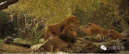 狮王虎王终于开战了,森林之王一打三草原之王竟然完胜