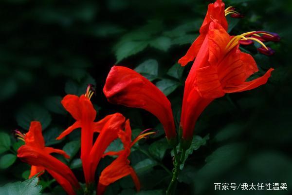 花序艷麗的硬骨凌霄,花色繁多的木茼蒿,你喜歡嗎?