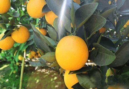 永兴冰糖橙防冻有法。