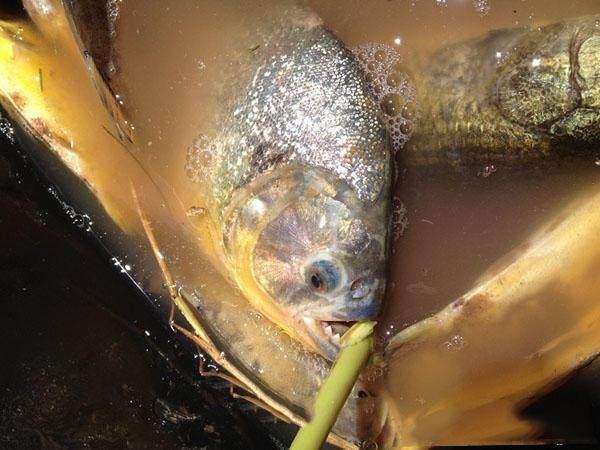 钓鱼在阿根廷:食人鱼泛滥成灾,味道竟如此鲜美