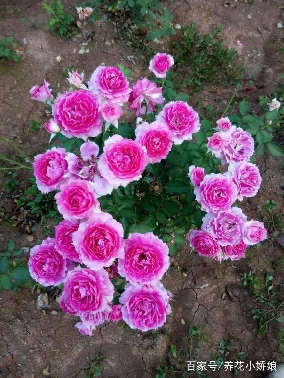 可以多季节重复开花的灌木月季,推荐给大家 第3张