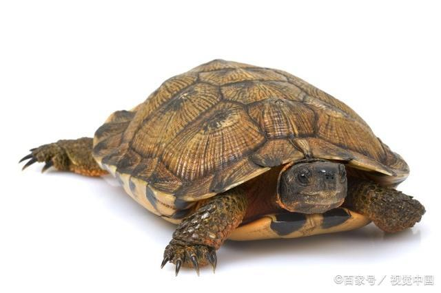龟对于大家来说并不陌生,大家对于龟了解多少呢?一起来学习吧!