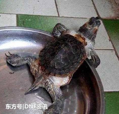 肉养了10年的乌龟长成这个样子, 专家的一番话让