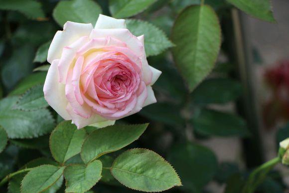 学会扦插月季花 你家可以开免费花店了|月季栽培种植-南阳天润月季有限公司