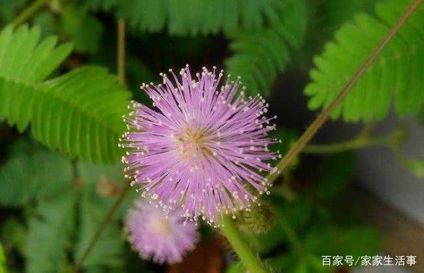「含羞草的百科的知识」关于含羞草的资料
