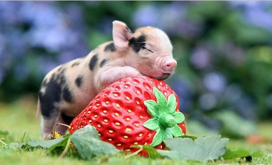 奥斯萨巴岛猪