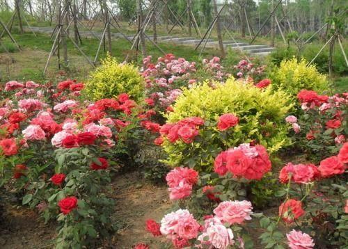 冬天 月季还要施肥吗?|月季栽培种植-南阳天润月季有限公司