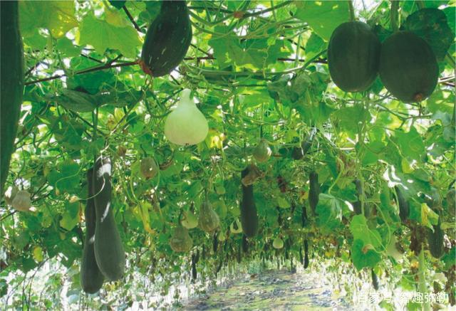 笋瓜施用有机肥的技术