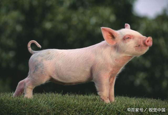 """十二生肖猪年到!关于""""猪""""的这些文化你知道吗? 第4张"""
