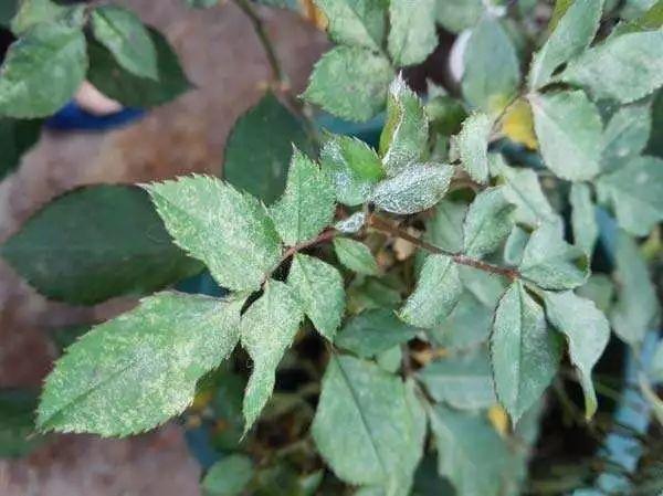 你家里的月季出现过这些病虫害吗?