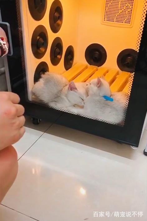 小奶猫一脸委屈进烘干箱,十分钟后打脸,主人笑出猪叫