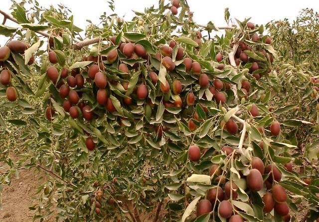 新疆红枣为什么贵