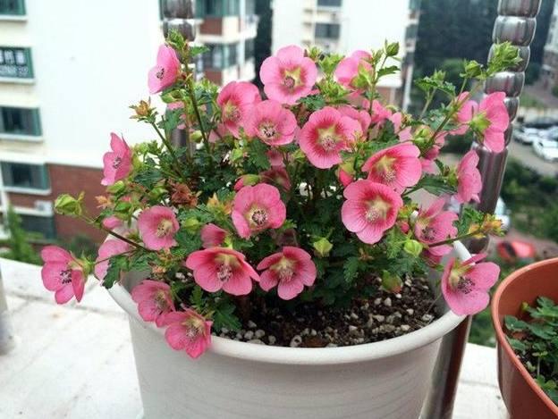 這2種花,一開就是8個多月,養護簡單易爆盆,值得擁有!